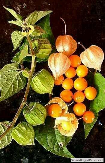 Çalı ve Yayılıcı Bitkiler