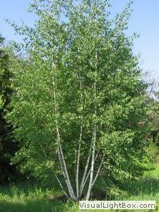 Süs Ağaçları